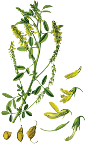 Melilotus_officinalis
