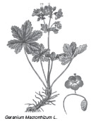 zdravez, geraniaceae