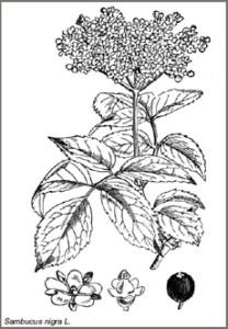 Черен дървесен бъз