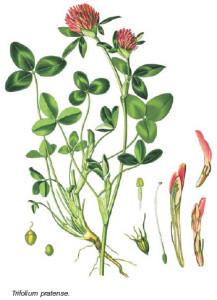 chervena-detelina-bilka