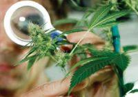 епилепсия и марихуана